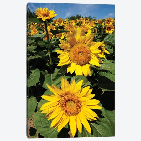 Common Sunflower Field In Bloom, Hokkaido, Japan Canvas Print #HIM14} by Hiroya Minakuchi Canvas Art Print