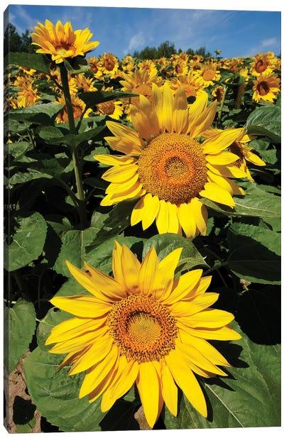 Common Sunflower Field In Bloom, Hokkaido, Japan Canvas Art Print