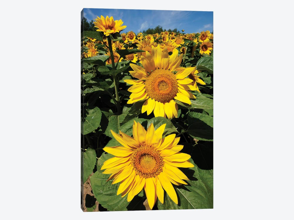 Common Sunflower Field In Bloom, Hokkaido, Japan by Hiroya Minakuchi 1-piece Canvas Art Print