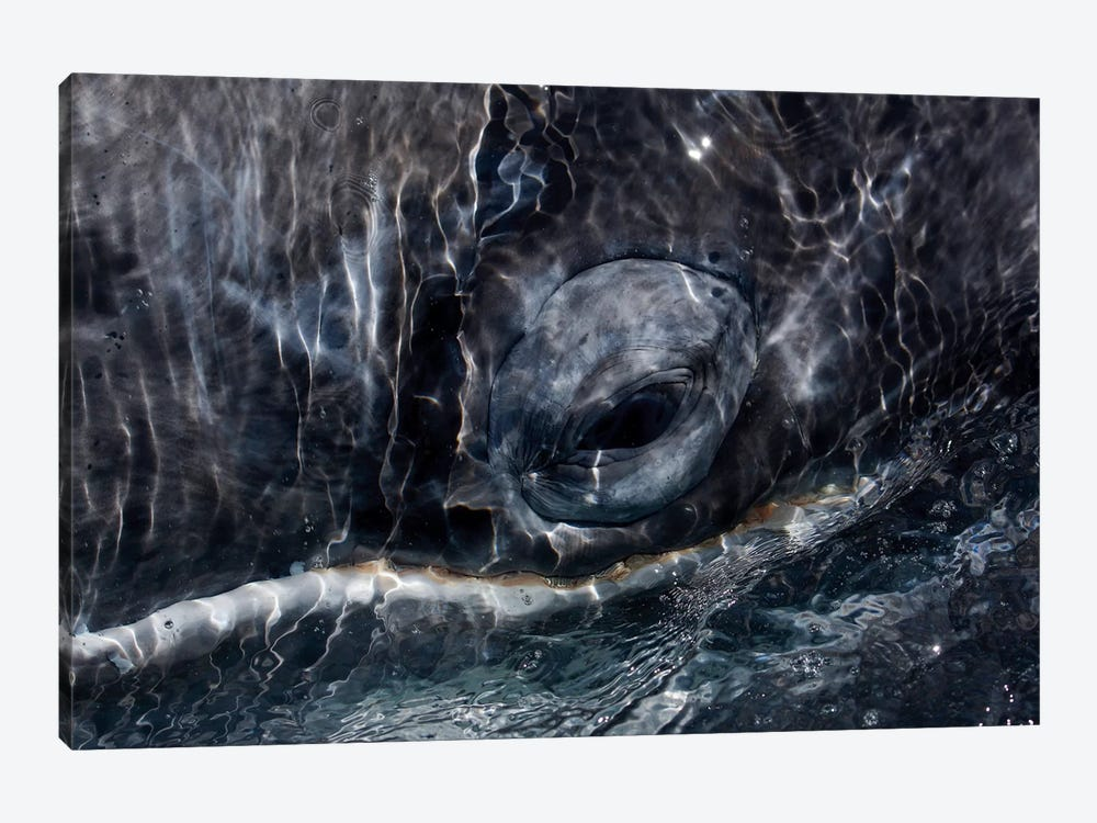 Gray Whale Eye, San Ignacio Lagoon, Baja California, Mexico by Hiroya Minakuchi 1-piece Canvas Art Print