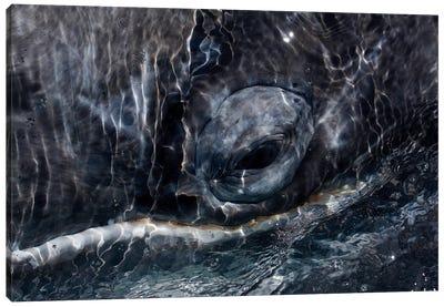 Gray Whale Eye, San Ignacio Lagoon, Baja California, Mexico Canvas Art Print