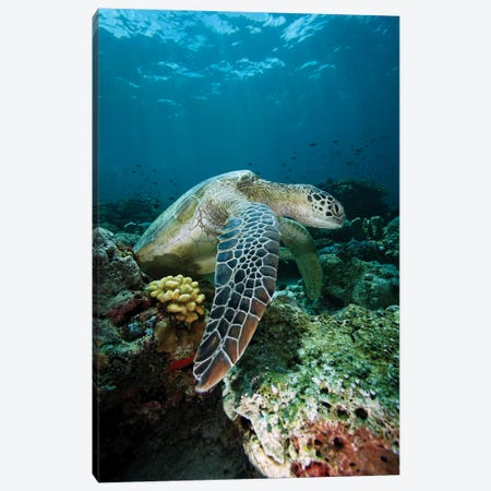 Green Sea Turtle On Coral Reef, Endangered, Sipadan Island, Celebes Sea, Borneo Canvas Print #HIM17} by Hiroya Minakuchi Canvas Art Print