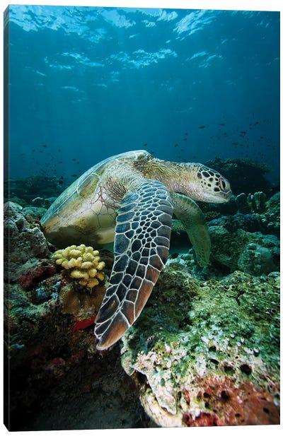 Green Sea Turtle On Coral Reef, Endangered, Sipadan Island, Celebes Sea, Borneo Canvas Art Print