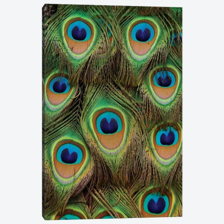 Indian Peafowl Male Tail Feathers, Native To Asia Canvas Print #HIM19} by Hiroya Minakuchi Canvas Artwork