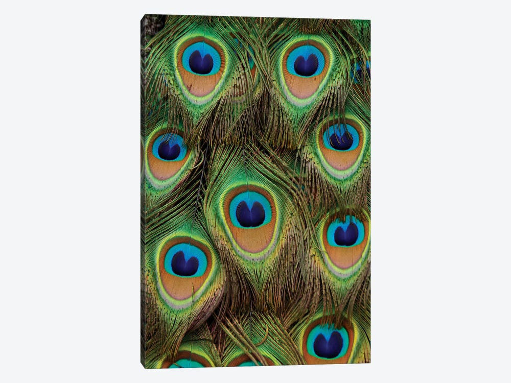 Indian Peafowl Male Tail Feathers, Native To Asia by Hiroya Minakuchi 1-piece Canvas Art