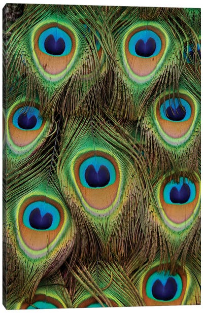 Indian Peafowl Male Tail Feathers, Native To Asia Canvas Art Print