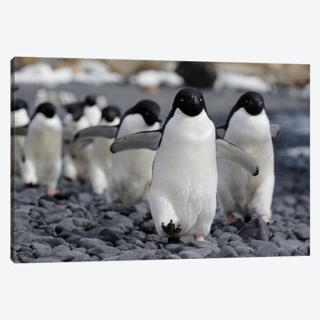 Adelie Penguin Group Marching To Colony, Antarctic Peninsula, Antarctica Canvas Print #HIM1} by Hiroya Minakuchi Canvas Artwork