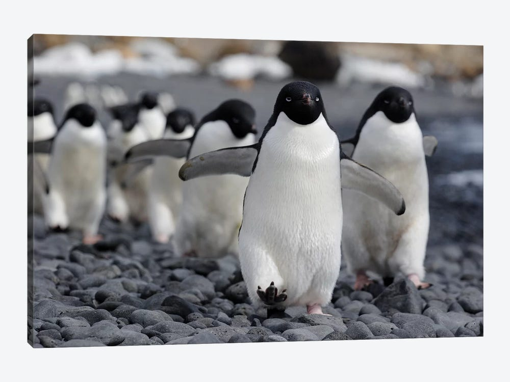 Adelie Penguin Group Marching To Colony, Antarctic Peninsula, Antarctica 1-piece Canvas Wall Art