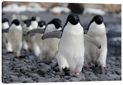 Adelie Penguin Group Marching To Colony, Antarctic Peninsula, Antarctica Canvas Art Print