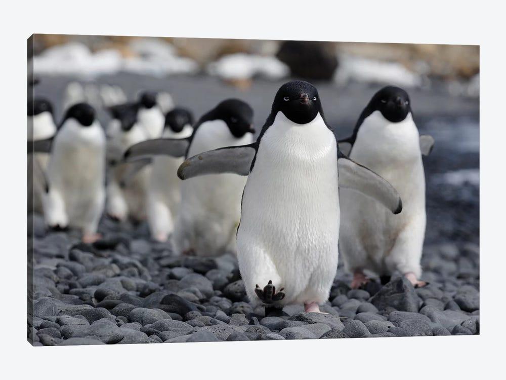 Adelie Penguin Group Marching To Colony, Antarctic Peninsula, Antarctica by Hiroya Minakuchi 1-piece Canvas Wall Art