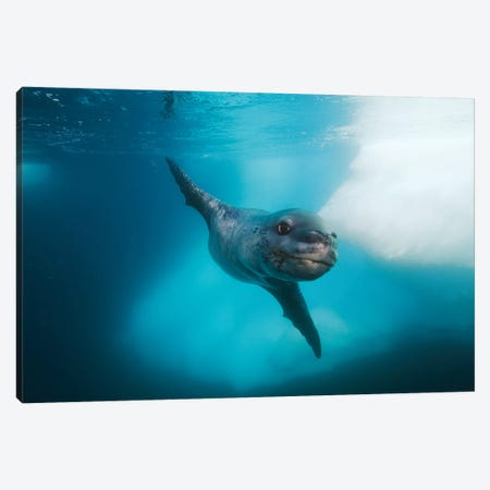 Leopard Seal, Antarctic Peninsula, Antarctica Canvas Print #HIM20} by Hiroya Minakuchi Canvas Print
