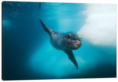 Leopard Seal, Antarctic Peninsula, Antarctica Canvas Art Print