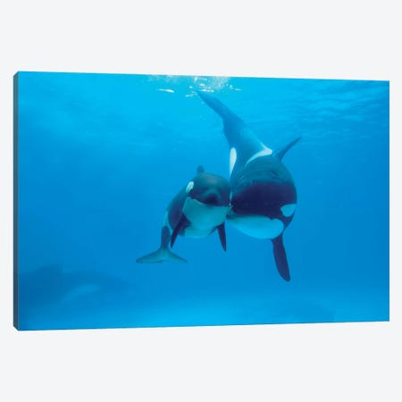 Orca Mother And Newborn Baby, Sea World, Kamogawa, Japan Canvas Print #HIM23} by Hiroya Minakuchi Canvas Art Print