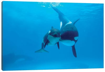 Orca Mother And Newborn Baby, Sea World, Kamogawa, Japan Canvas Art Print