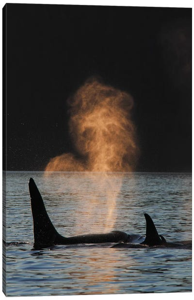 Orca Resident Pod Spouting, Prince William Sound, Alaska Canvas Art Print