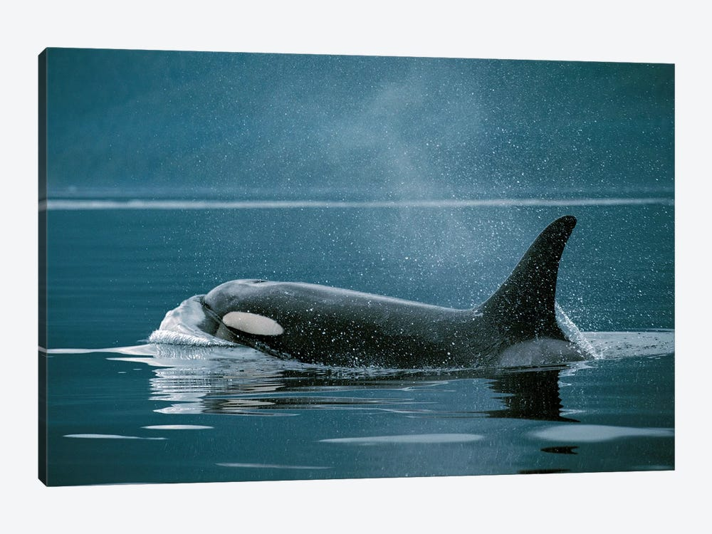 Orca, Johnstone Strait, British Colombia, Canada by Hiroya Minakuchi 1-piece Canvas Art Print
