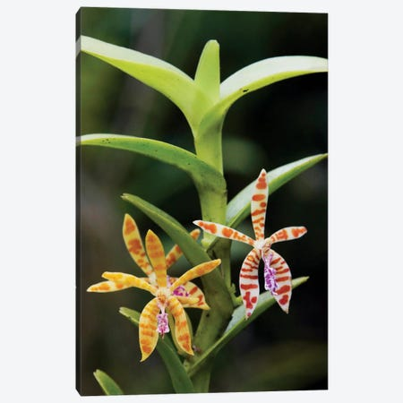 Orchid Flowers, Malaysia Canvas Print #HIM26} by Hiroya Minakuchi Canvas Wall Art