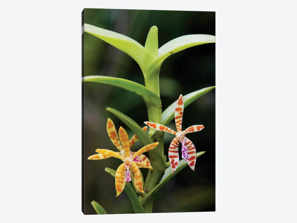 Orchid Flowers, Malaysia by Hiroya Minakuchi 1-piece Canvas Artwork