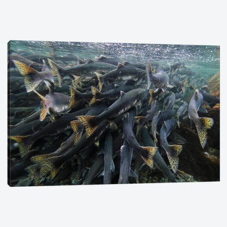 Pink Salmon Spawning Mass, Prince William Sound, Alaska Canvas Print #HIM27} by Hiroya Minakuchi Canvas Art
