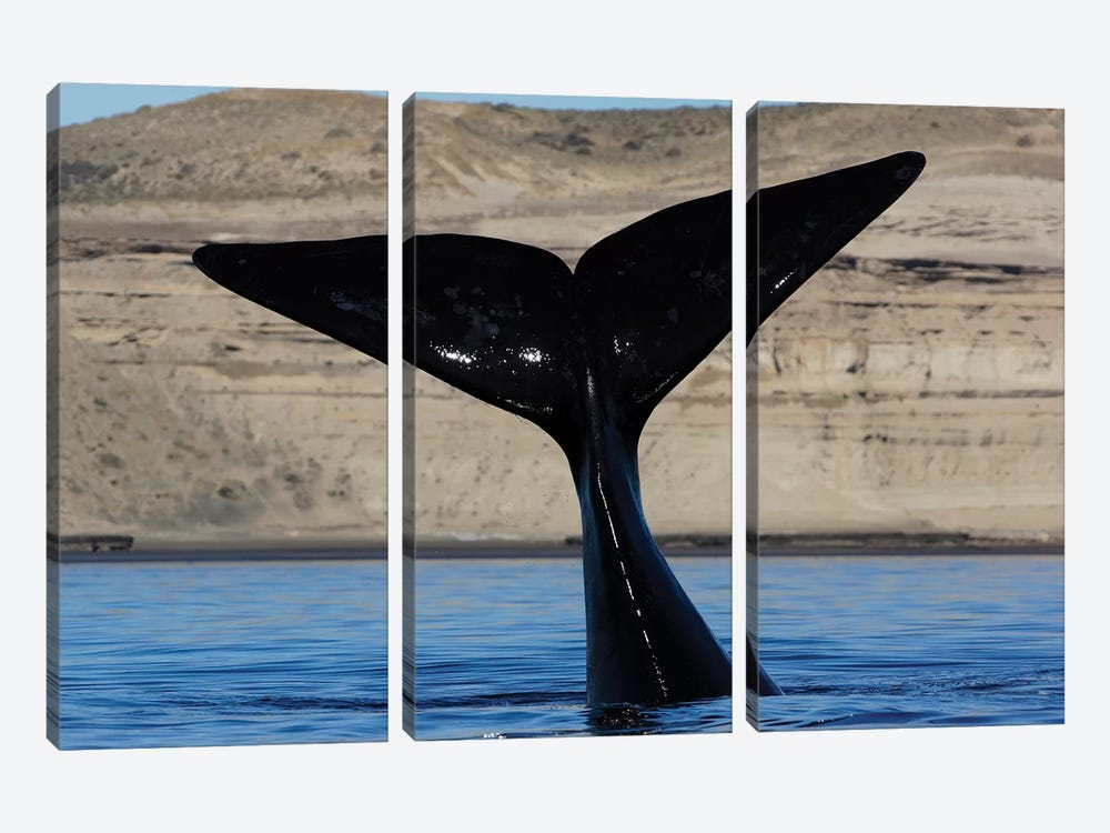 Southern Right Whale Tail, Valdes Peninsula, Argentina by Hiroya Minakuchi 3-piece Canvas Art