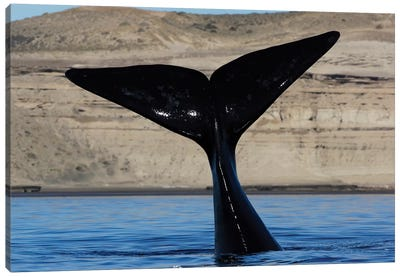 Southern Right Whale Tail, Valdes Peninsula, Argentina Canvas Art Print