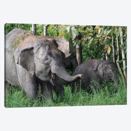 Asian Elephant Mother And Baby, Saba, Malaysia Canvas Print #HIM2} by Hiroya Minakuchi Canvas Wall Art