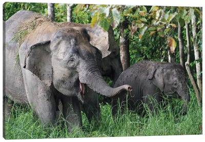 Asian Elephant Mother And Baby, Saba, Malaysia Canvas Art Print