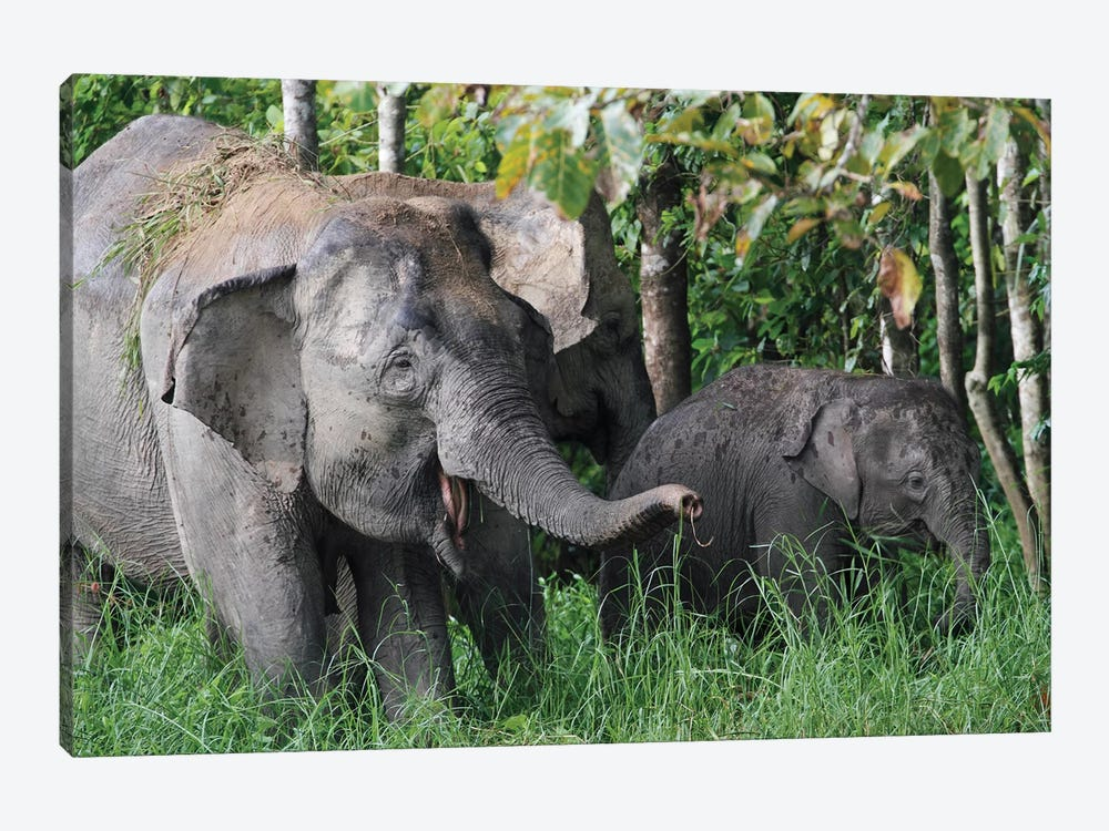Asian Elephant Mother And Baby, Saba, Malaysia by Hiroya Minakuchi 1-piece Canvas Art Print