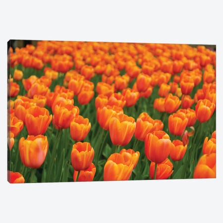 Tulip Flower Garden, Japan Canvas Print #HIM32} by Hiroya Minakuchi Canvas Wall Art