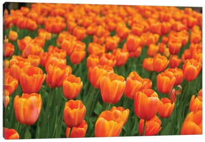 Tulip Flower Garden, Japan Canvas Art Print