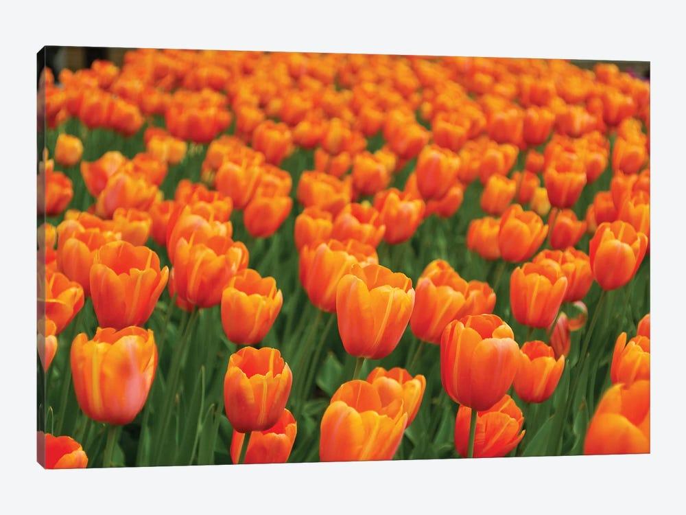 Tulip Flower Garden, Japan by Hiroya Minakuchi 1-piece Canvas Art Print