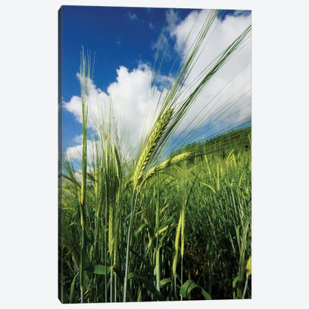 Two-Rowed Barley Seed Head, Hokkaido, Japan Canvas Print #HIM33} by Hiroya Minakuchi Canvas Art