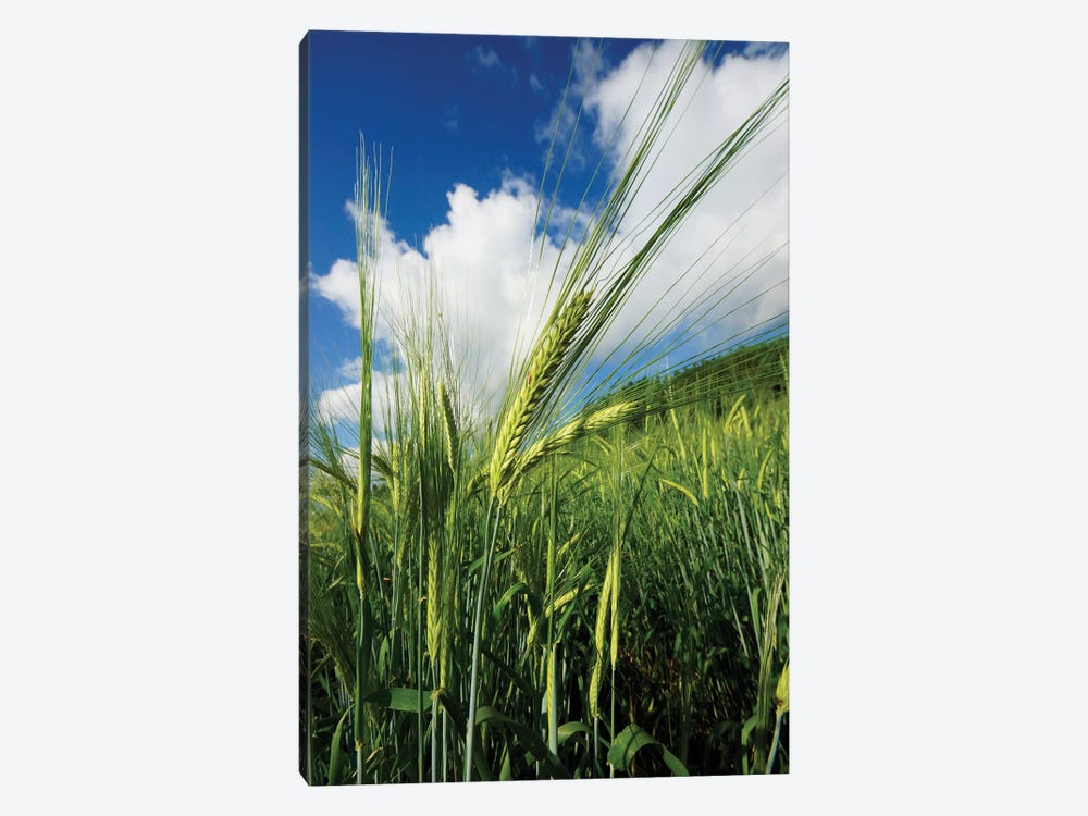 Two-Rowed Barley Seed Head, Hokkaido, Japan by Hiroya Minakuchi 1-piece Canvas Artwork
