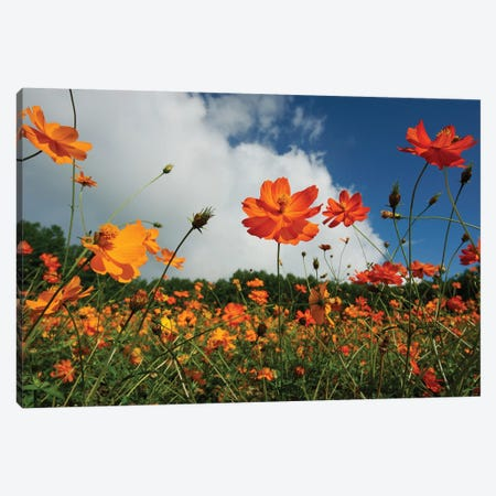 Yellow Cosmos Field In Flower, Japan Canvas Print #HIM34} by Hiroya Minakuchi Canvas Art Print
