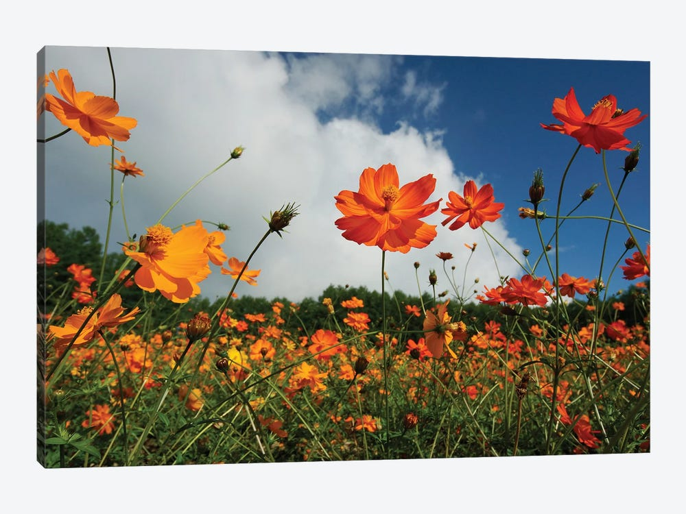 Yellow Cosmos Field In Flower, Japan 1-piece Canvas Art Print