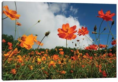 Yellow Cosmos Field In Flower, Japan Canvas Art Print
