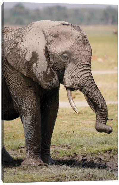 African Elephant Mud Bathing, Masai Mara, Kenya Canvas Art Print