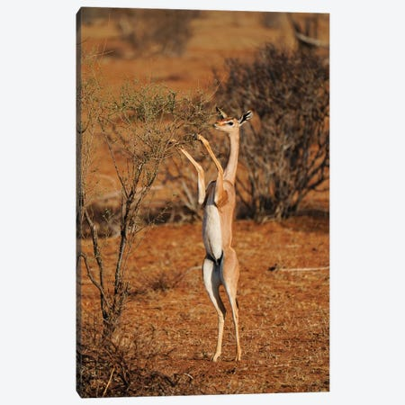 Gerenuk Standing Up To Browse, Samburu National Park, Kenya Canvas Print #HIM38} by Hiroya Minakuchi Canvas Wall Art