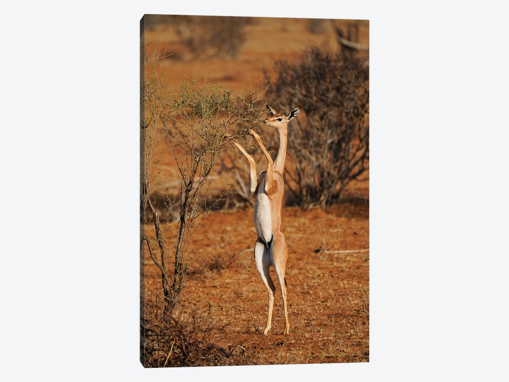 Gerenuk Standing Up To Browse, Samburu National Park, Kenya by Hiroya Minakuchi 1-piece Canvas Print