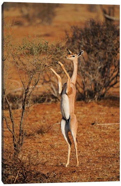 Gerenuk Standing Up To Browse, Samburu National Park, Kenya Canvas Art Print