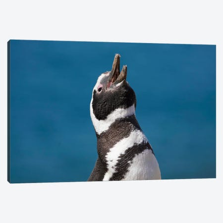 Magellanic Penguin Calling, Patagonia, Argentina Canvas Print #HIM41} by Hiroya Minakuchi Canvas Art Print