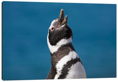 Magellanic Penguin Calling, Patagonia, Argentina Canvas Art Print