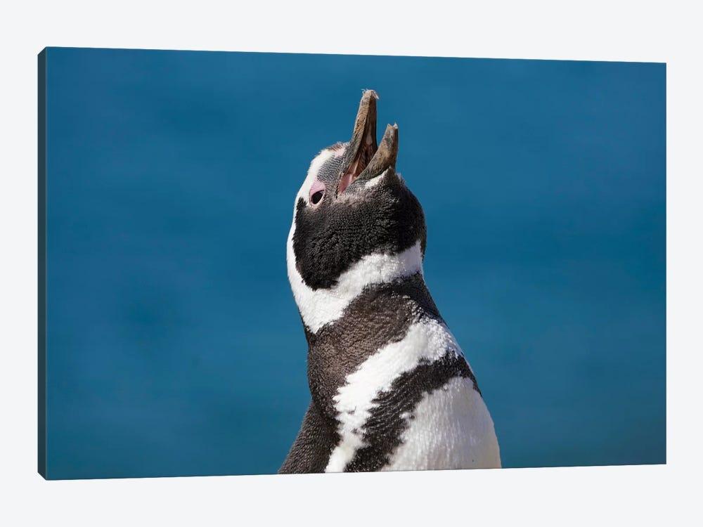 Magellanic Penguin Calling, Patagonia, Argentina by Hiroya Minakuchi 1-piece Canvas Art Print
