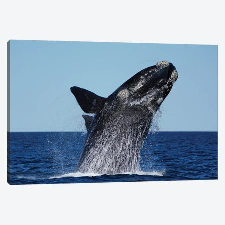 Southern Right Whale Breaching, Peninsula Valdez, Argentina Canvas Print #HIM42} by Hiroya Minakuchi Art Print