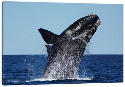 Southern Right Whale Breaching, Peninsula Valdez, Argentina Canvas Art Print