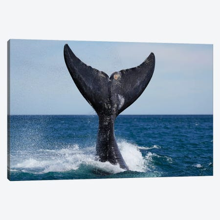 Southern Right Whale Tail Slapping, Peninsula Valdez, Argentina I Canvas Print #HIM44} by Hiroya Minakuchi Canvas Wall Art