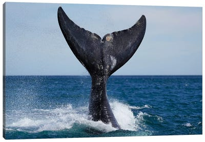 Southern Right Whale Tail Slapping, Peninsula Valdez, Argentina I Canvas Art Print