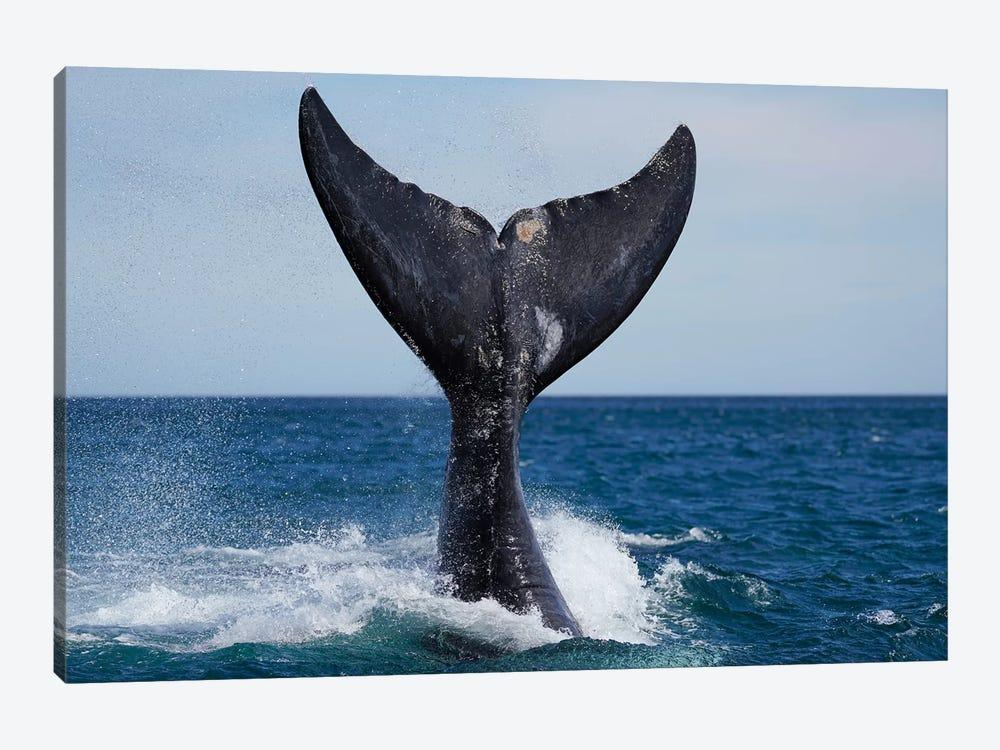 Southern Right Whale Tail Slapping, Peninsula Valdez, Argentina I by Hiroya Minakuchi 1-piece Canvas Wall Art