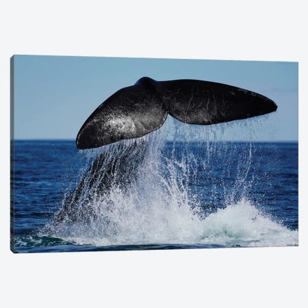 Southern Right Whale Tail Slapping, Peninsula Valdez, Argentina II Canvas Print #HIM45} by Hiroya Minakuchi Canvas Wall Art
