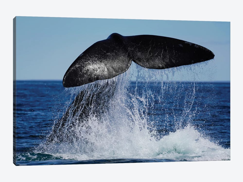 Southern Right Whale Tail Slapping, Peninsula Valdez, Argentina II by Hiroya Minakuchi 1-piece Canvas Print